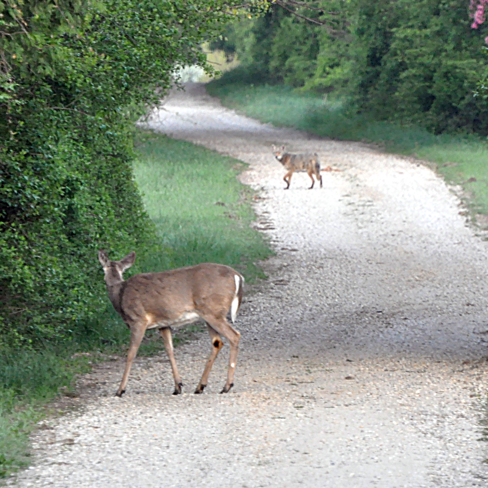 Photo of a coyote and deer looking at each other