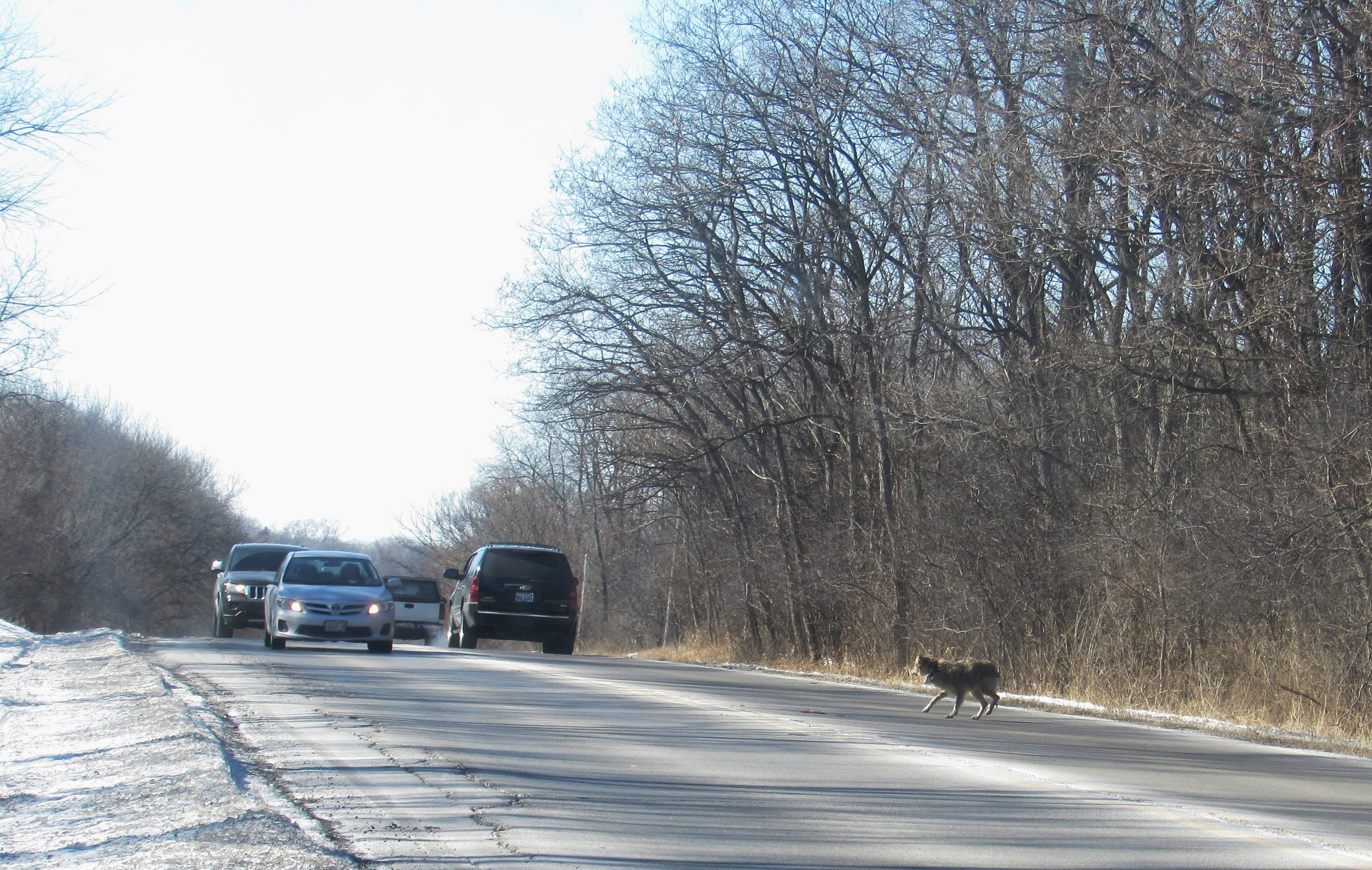 Coyote running in traffic