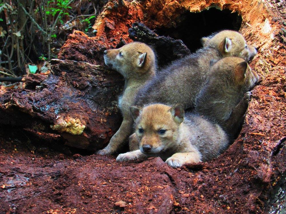 coyote pups in tree den