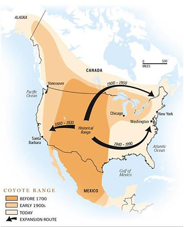 Map illustrating progression of coyote range expansion throughout North America and Mexico