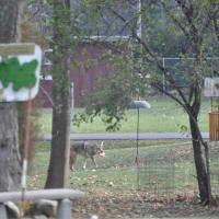 Coyote 434 in area of nuisance complaint