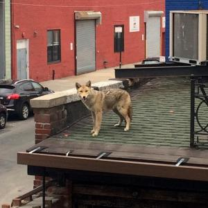 Image of coyote in urban setting by Caitlin Cahill, National Geographic