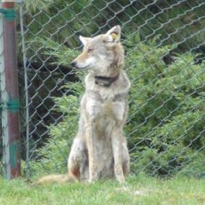 The Dynamics of Sarcoptic Mange in an Urban Coyote (Canis latrans) Population