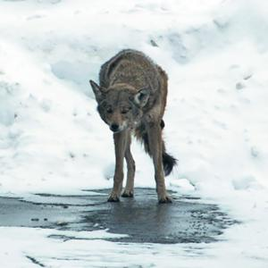 Coyote scratching mange during winter