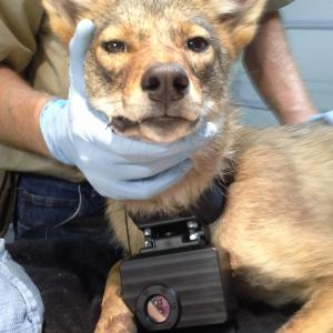 Coyote wearing a Crittercam