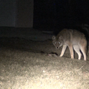 Coyote at night