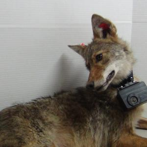 coyote outfitted with crittercam
