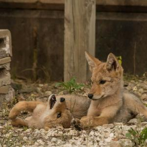 Coyotes in urban environment