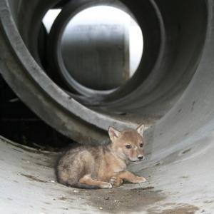 coyote pup in concrete pipe
