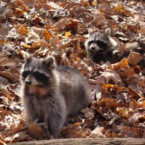 Raccoons in the woods