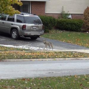 Coyote in neighborhood
