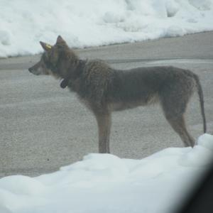 Coyote 571 with mange infection