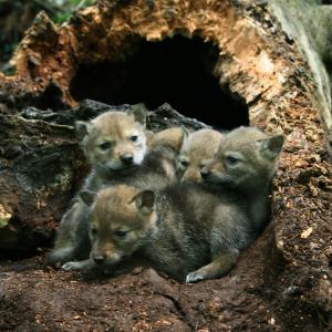 Coyote pups in hollowed-out tree den