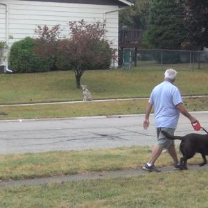Man walking near coyote with dog on leash