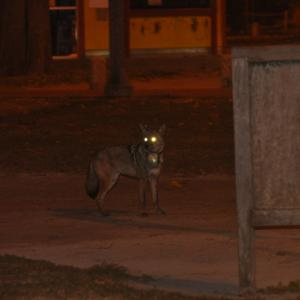 Coyote in city