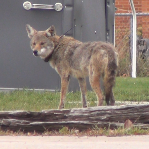 coyote with radio collar