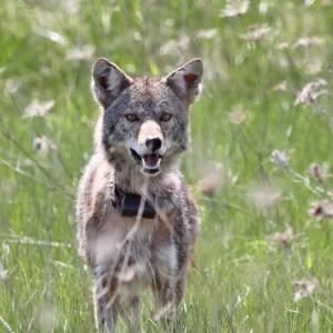 Photo of a coyote in a meadow following release