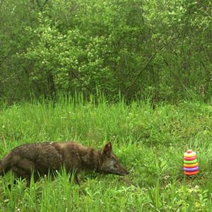 Photo of coyote investigating a child's toy