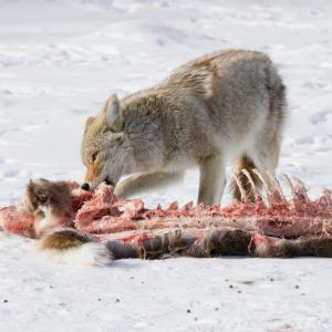Coyote feeds on a deer carcass