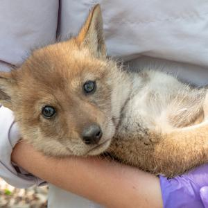 Chicago Magazine - coyote pup being examined
