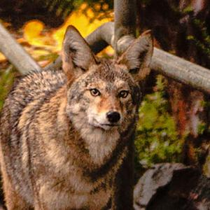 Is the Urban Coyote a Misanthropic Synanthrope?