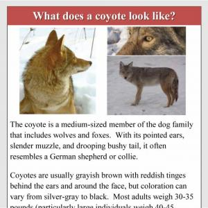 Urban coyotes: conflict and management