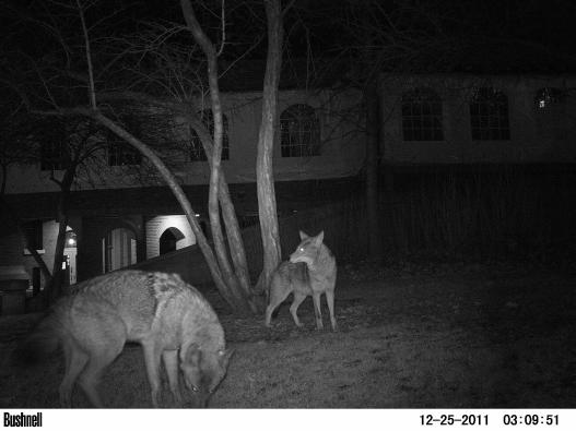 Coyote 441 with pack member in Lincoln Park Zoo