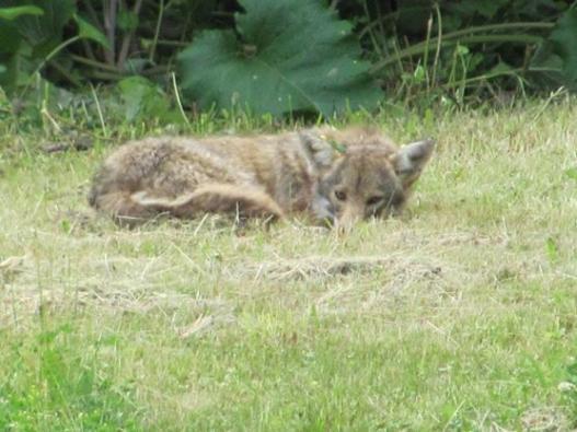 coyote 567