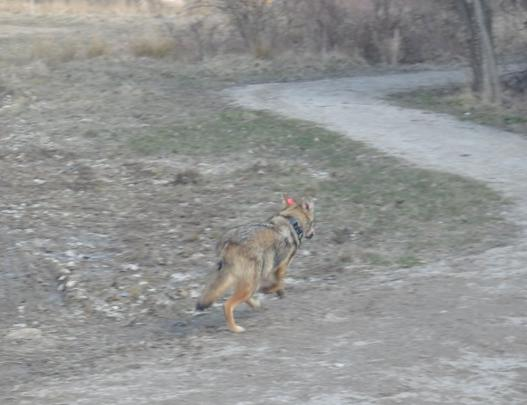 Coyote in Cleveland