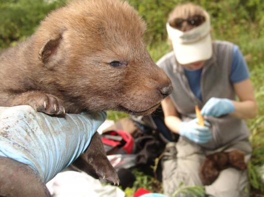 Researchers examine coyote pups