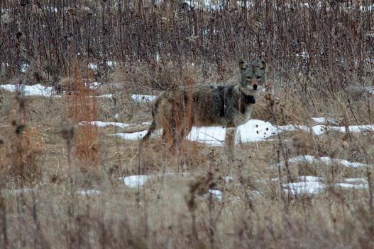 coyote in forest preserve