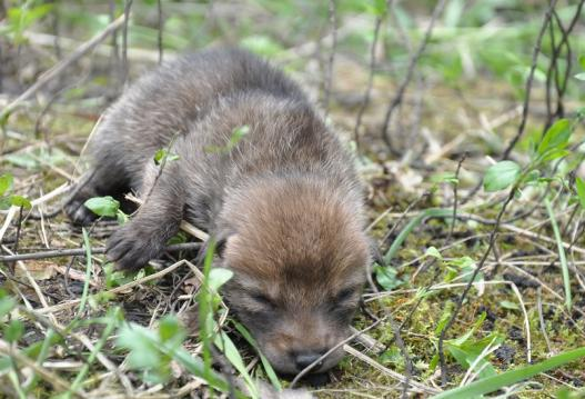 The presence of coyote pups can elevate negative adult coyote behaviors