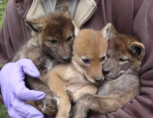 Image of coyote pups with light and dark color variations