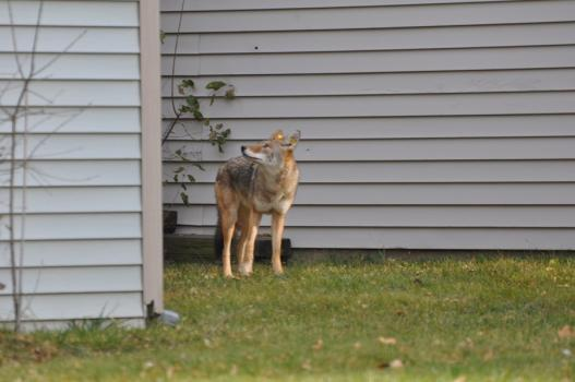 Coyote 434 wanders through a neighborhood