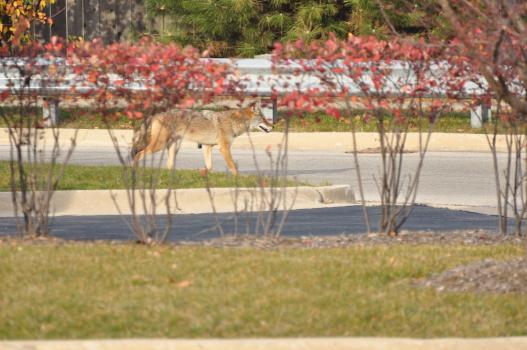 Coyote 434