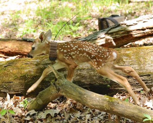fawn with tracking collar