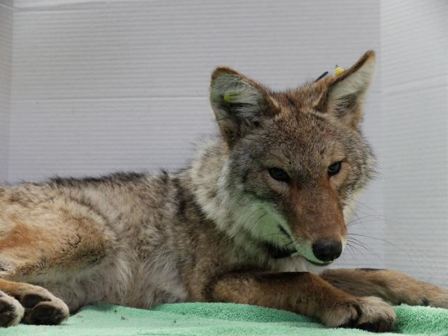 Coyote 1101 during her adult exam (sedated)