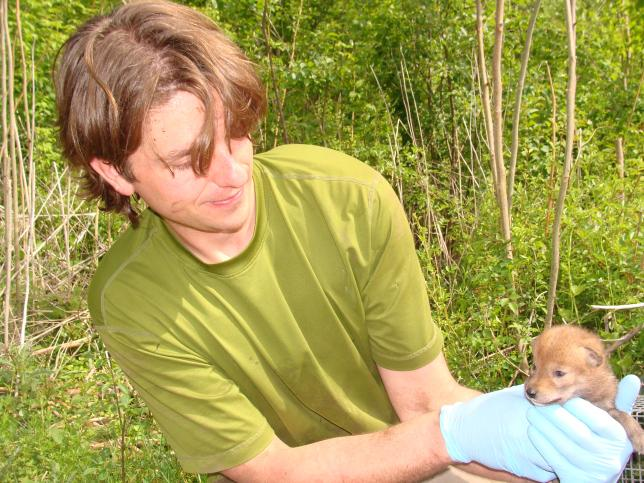 Researcher Shane checks one coyote pup of coyote 508's litter