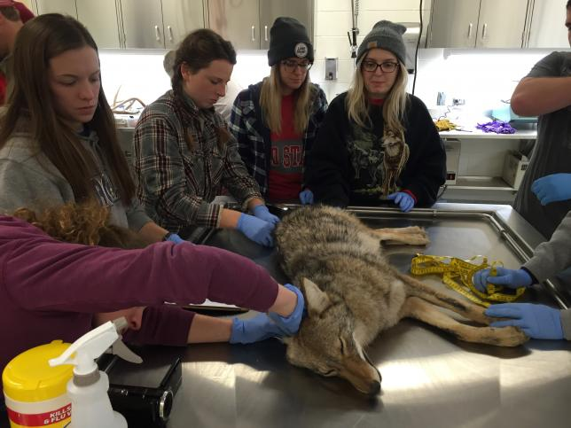 Photo of students examining a sedated coyote