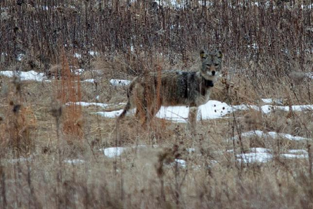 Tagged coyote in a forest preserve