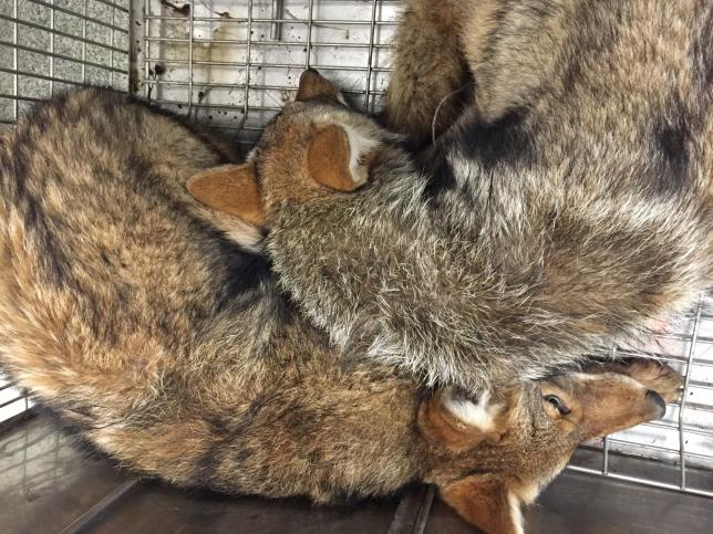 Photo of coyotes in a temporary pen awaiting release