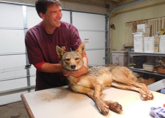 Image of Dr. Stan Gehrt with a sedated coyote