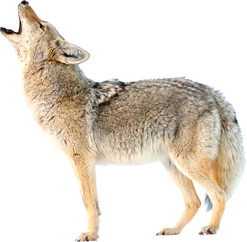 Photo a coyote howling